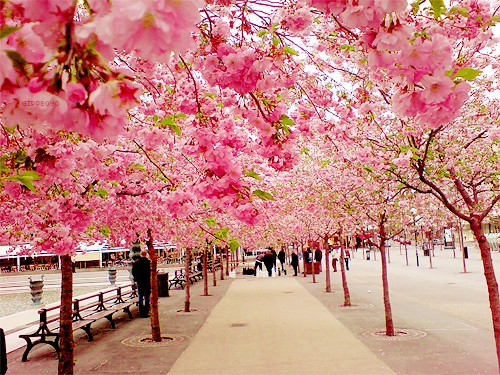 cherry-blossom-walk-sakura-japan.jpg (500×375)